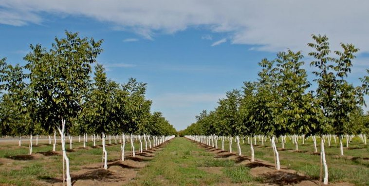 Walnut Cultivation: Perspectives and Greek Reality