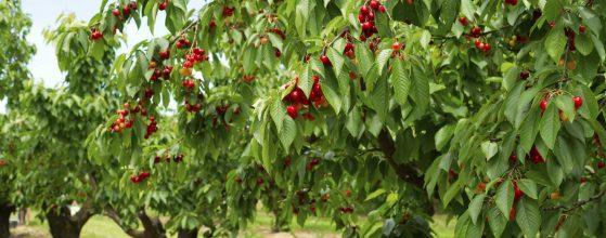 kerasia-cherry-tsesmelis-fytorio