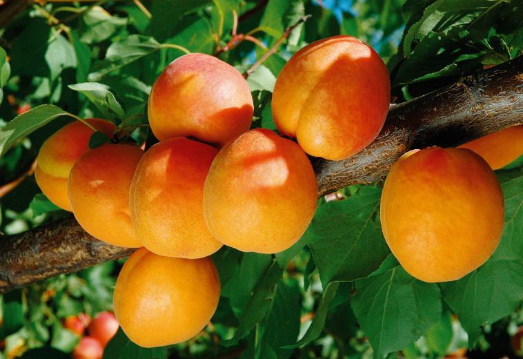 Ποικιλία Βερικοκιάς Φαρμπαλύ