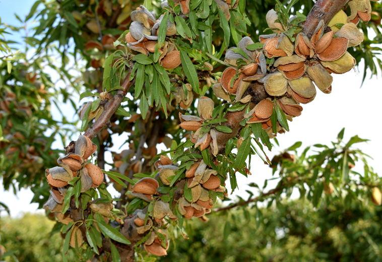 Οι τιμές των «βιολογικών» αμυγδάλων έφτασαν σε ιστορικά υψηλά στο Αλμπαθέτε