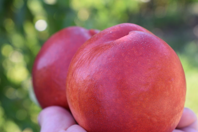 Big Haven Nectarine Variety