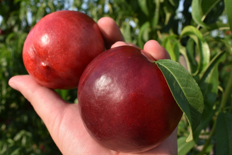 Royal Queen Nectarine Variety