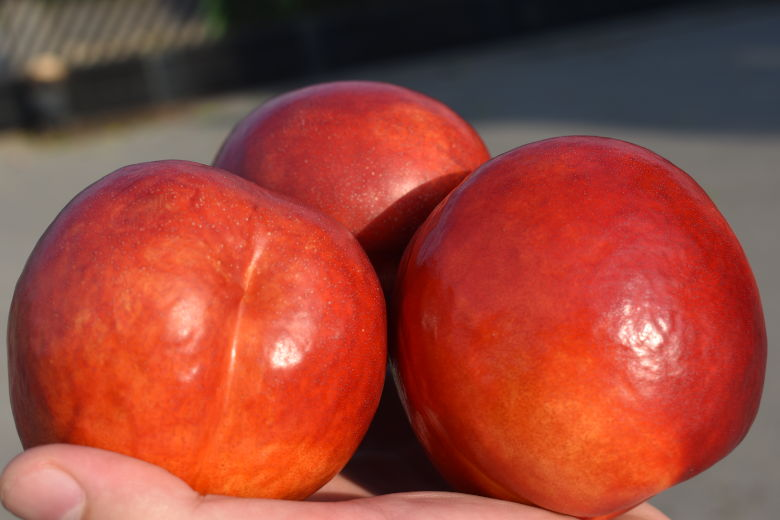 Honey Top Nectarine Variety