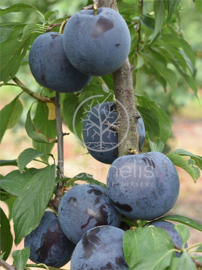 Earli Queen Plum Variety - Tsesmelis Fruit & Nut Nursery
