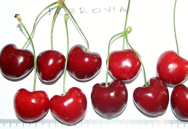 Ποικιλία Κερασιάς Φεροβία