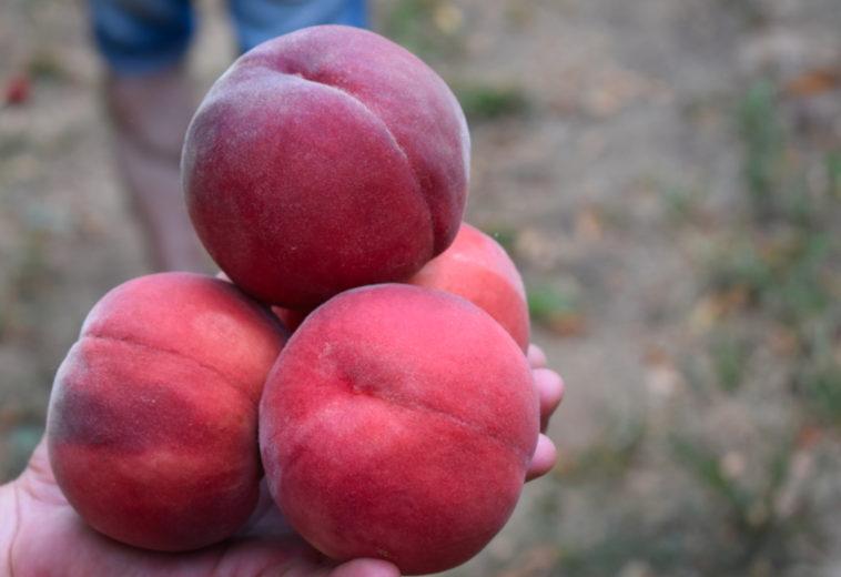 Πληροφορίες και Καλλιέργεια Ροδακινιάς