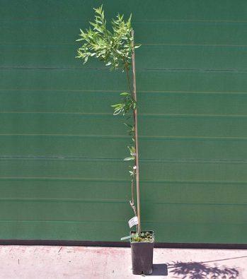 Δενδρύλλιο Αμυγδαλιάς Αβιχόρ – 2,5 λίτρα γλάστρα