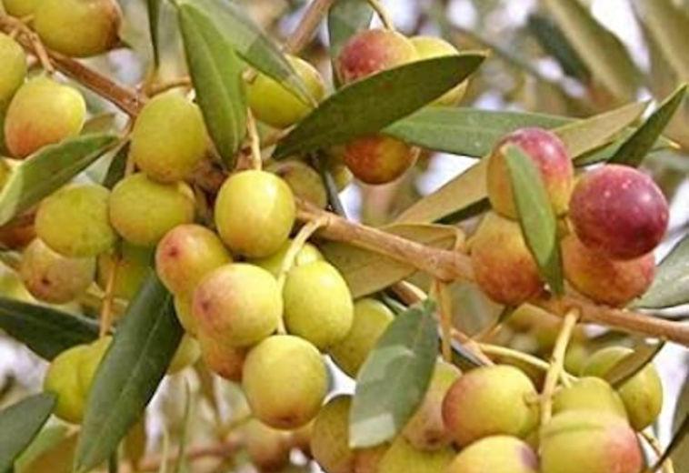 Ποικιλία Ελιάς Αρμπεκίνα